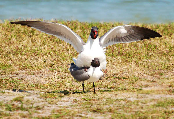 Just Birds Photograph - Seagulls Having Fun In The Sun by Rebecca Brittain