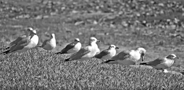 Just Birds Photograph - Seagulls In A Row Funny Birds In Line by Rebecca Brittain