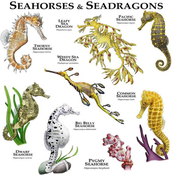 Seadragon Photograph - Seahorses And Seadragons by Roger Hall