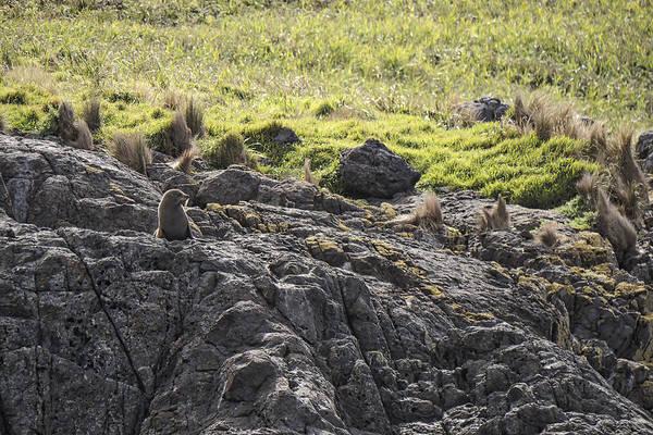 Photograph - Seal - Montague Island - Austrlalia by Steven Ralser