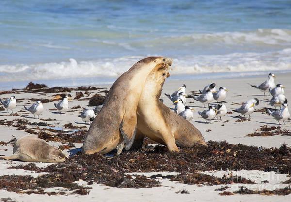 Australian Wildlife Wall Art - Photograph - Seal Beach Battle by Mike Dawson