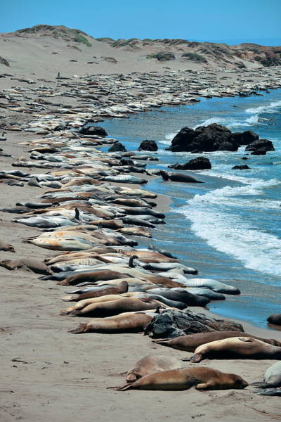 Photograph - Seal In Big Sur by Songquan Deng