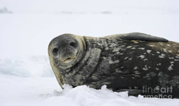 Wall Art - Photograph - Seal Of The South... by Nina Stavlund