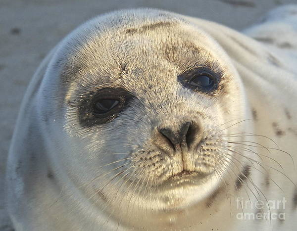 Photograph - Seal Pup by Amazing Jules