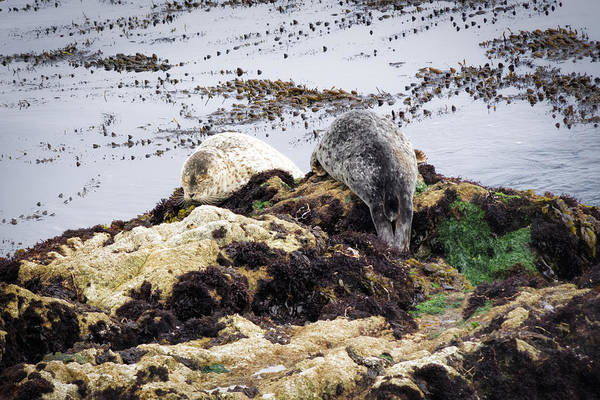 Photograph - Seal Snooze by Priya Ghose