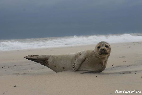 Photograph - Seal Yoga by Robert Banach