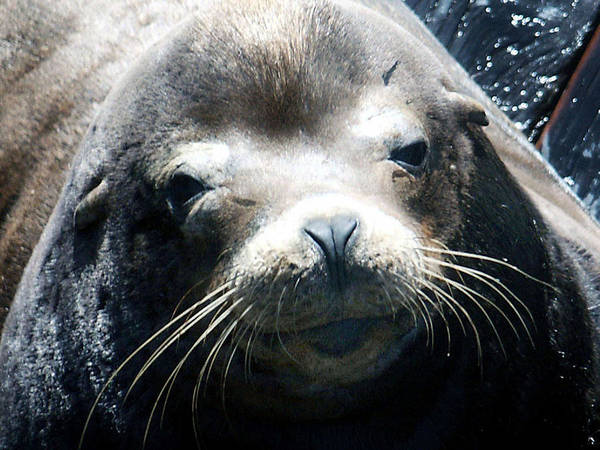 Photograph - Sealion by Tarey Potter