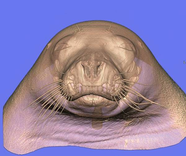 Specimen Photograph - Seal's Head by Anders Persson, Cmiv
