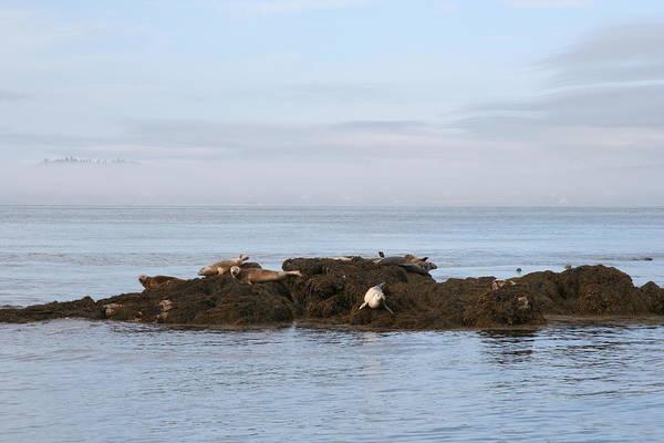 Seals On Island Art Print by Carolyn Reinhart