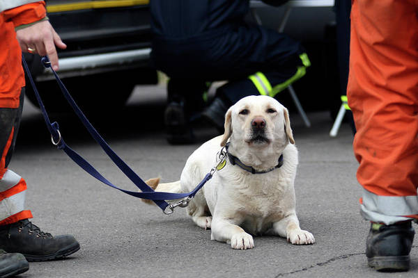 Dog Training Photograph - Search And Rescue Dog by Public Health England/science Photo Library