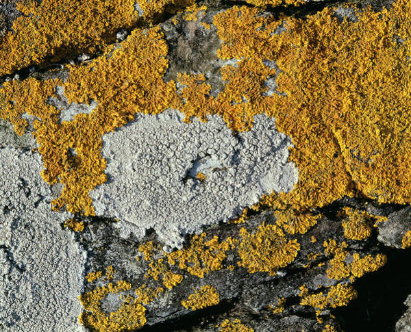 Wall Art - Photograph - Seashore Lichens by Sinclair Stammers/science Photo Library