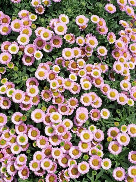 Asteraceae Wall Art - Photograph - Seaside Fleabane Flowers by Geoff Kidd/science Photo Library
