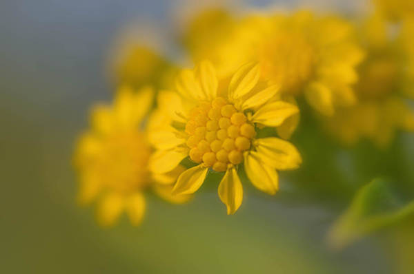 Photograph - Seaside Goldenrod Florette by Beth Sawickie