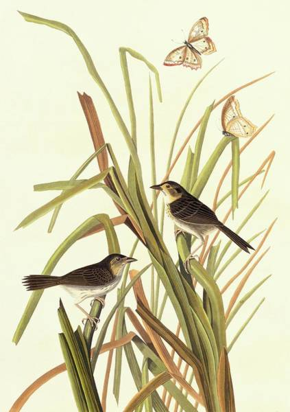 Aquatint Photograph - Seaside Sparrow by Natural History Museum, London/science Photo Library