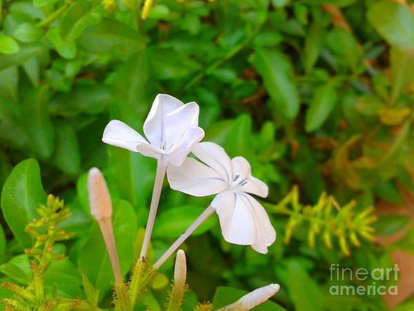 Plumbaginaceae Photograph - Fabulous Plumbago Auriculata Flower  by Artist Nandika  Dutt