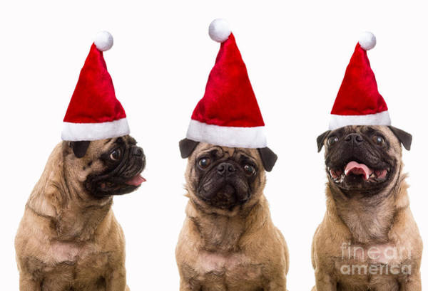 Pugs Photograph - Seasons Greetings Christmas Caroling Pug Dogs Wearing Santa Claus Hats by Edward Fielding