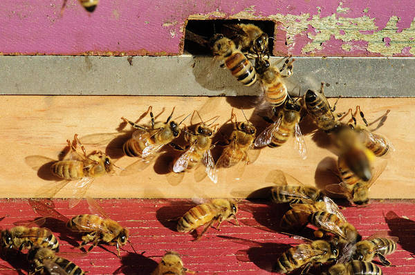 Bee Hive Photograph - Seattle Honeybees At Entrance To Beehive by Matt Freedman