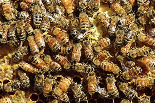 Bee Hive Photograph - Seattle Honeybees In Beehive by Matt Freedman