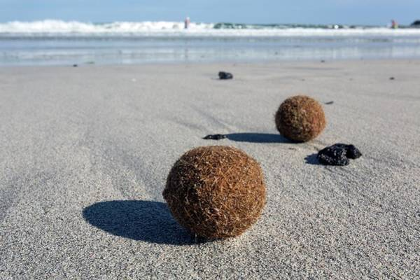 Seaweed Photograph - Seaweed Balls On Sandy Beach by Dr Juerg Alean