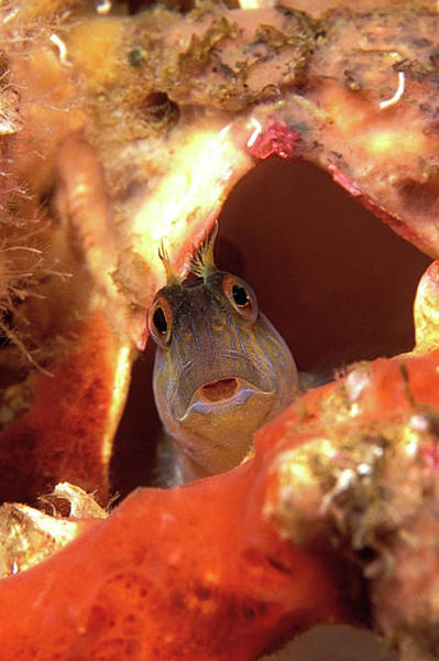 Seaweed Photograph - Seaweed Blenny by Clay Coleman/science Photo Library