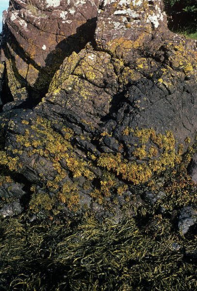 Marine Layer Photograph - Seaweed by Dr Jeremy Burgess/science Photo Library