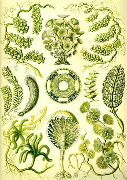 Digital Art - Seaweed Green Algae Chlorophyceae Caulerpa Siphonal by Movie Poster Prints