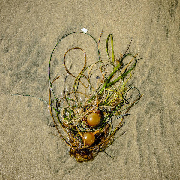 Photograph - Seaweed On Sandy Canvas  by Roxy Hurtubise