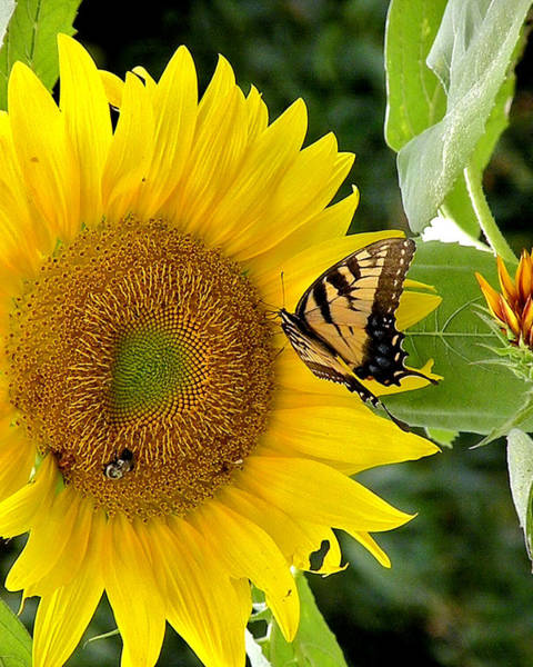 Photograph - Secret Lives Of Sunflowers 2 by Kim Bemis