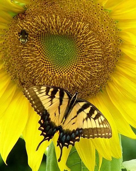 Photograph - Secret Lives Of Sunflowers by Kim Bemis