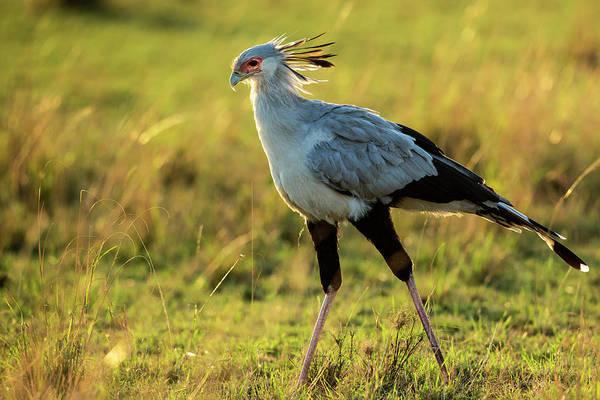 Secretary Photograph - Secretary Bird Looking For Prey by Manoj Shah