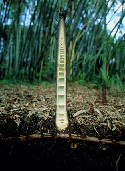 Bamboo Photograph - Section Through Bamboo Shoot In Soil by Pascal Goetgheluck/science Photo Library