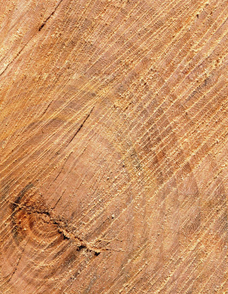 Elm Tree Photograph - Section Through Heartwood Of Elm Tree by Adam Hart-davis/science Photo Library
