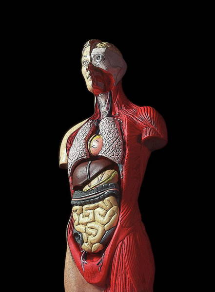 Stomach Wall Art - Photograph - Sectioned Human Body by Cordelia Molloy/science Photo Library