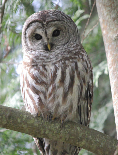Barred Owl Photograph - Security Cam by Randy Hall
