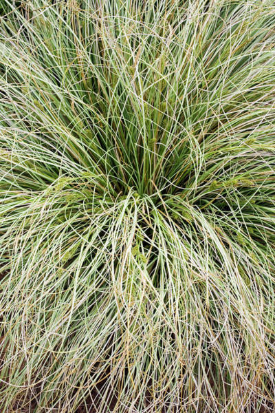 Silvery Photograph - Sedge (carex 'frosted Curls' by Geoff Kidd/science Photo Library