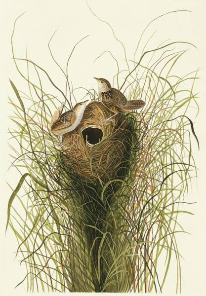 Wren Photograph - Sedge Wren by Natural History Museum, London/science Photo Library
