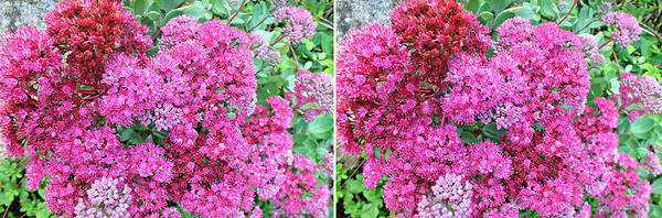 Photograph - Sedums In Stereo 2 by Duane McCullough