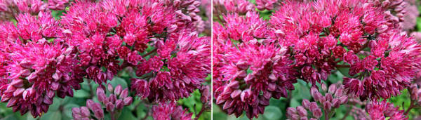 Photograph - Sedums In Stereo by Duane McCullough