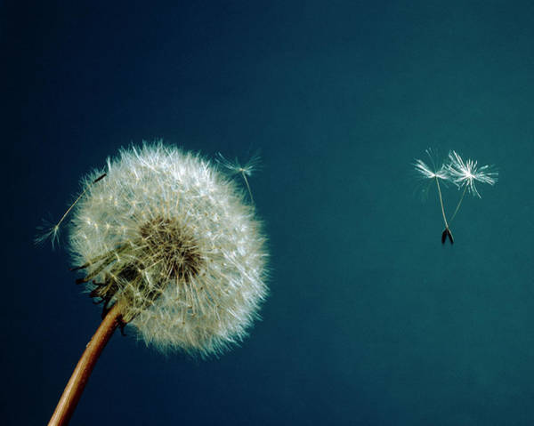 Taraxacum Photograph - Seed Dispersal Of A Dandelion Flower by Adam Hart-davis/science Photo Library