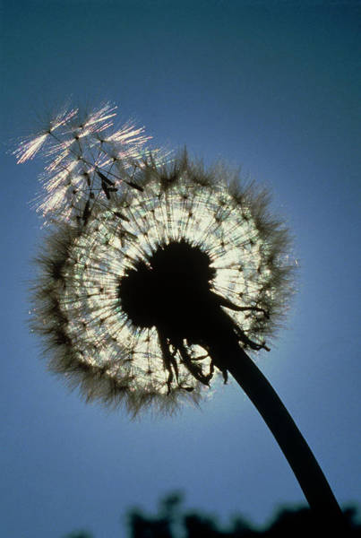 Taraxacum Photograph - Seed Head Of A Dandelion Flower by Adam Hart-davis/science Photo Library