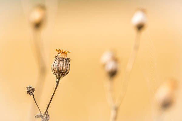 Photograph - Seed Pod. by Gary Gillette