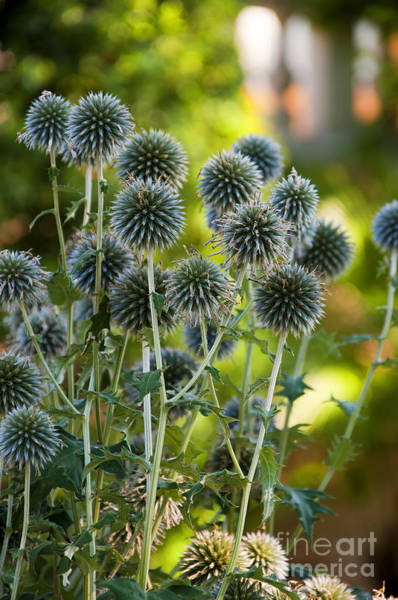 Photograph - Seedheads Spikes by Brenda Kean