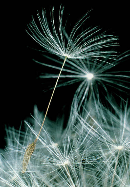 Taraxacum Photograph - Seeds Lifting Off A Dandelion by Dr Jeremy Burgess/science Photo Library