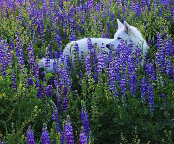 Sekani In Lupine Art Print
