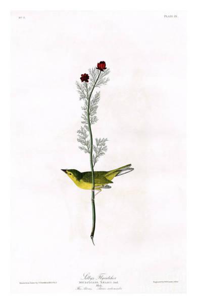 Flycatcher Painting - Selby's Flycatcher By John James Audubon by Pablo Romero
