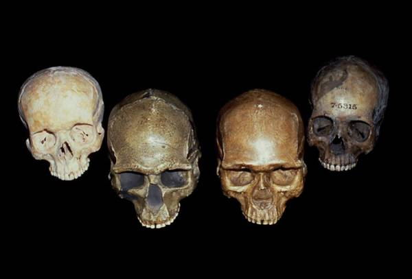 Comparative Anatomy Wall Art - Photograph - Selection Of Homo Sapiens Skuls by Natural History Museum, London/science Photo Library