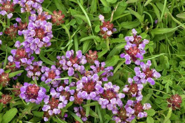 Heal Wall Art - Photograph - Self Heal (prunella Vulgaris) Flowers by Bob Gibbons/science Photo Library