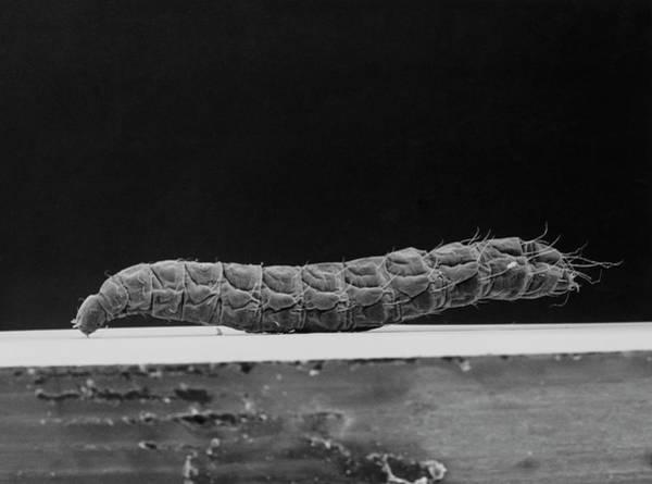 Larva Wall Art - Photograph - Sem Of A Cat Flea Larva by K. H. Kjeldsen/science Photo Library