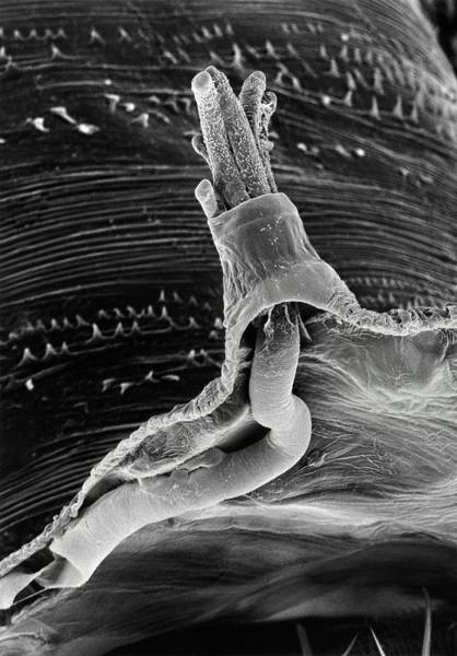 Pupa Photograph - Sem Of Breathing Tube Of Fruit Fly by Dr Jeremy Burgess/science Photo Library.