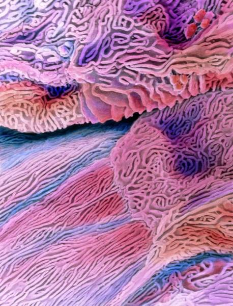 Digestive Systems Photograph - Sem Of Epithelium In The Oesophagus by Prof. P. Motta/dept. Of Anatomy/university